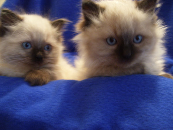 Ragdoll cats for sale in bc