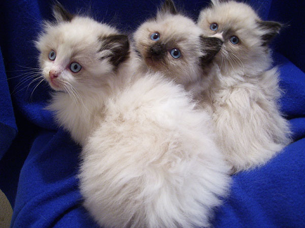 Ragalong Ragdoll Kittens for Sale from Breeders Briar Glen Farms