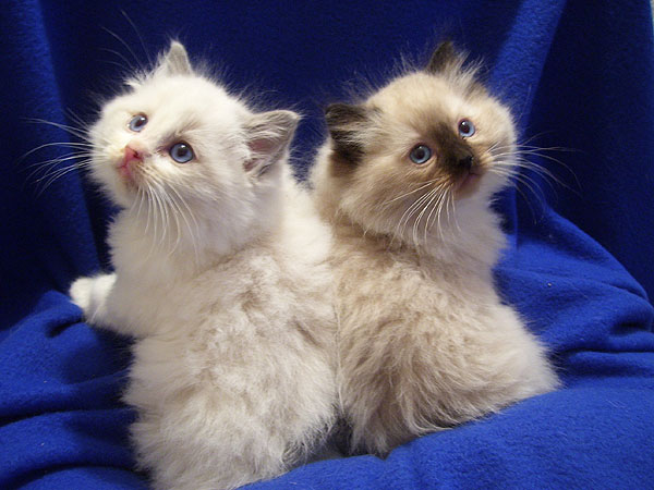 Ragalong Ragdoll Kittens for Sale from Breeders Briar Glen Farms